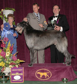 Day one scottish deerhound