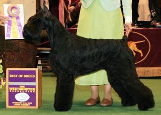 Day two giant schnauzer